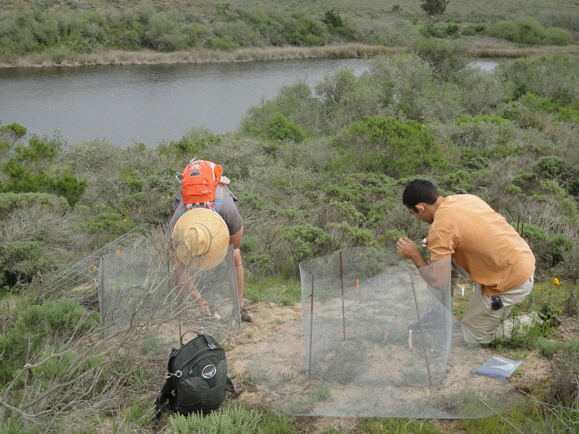 Collecting data on the endangered Nipomo Lupine
